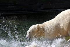 Orso polare o del ghiaccio fotografie stock