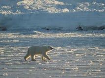 Orso polare, re dell'Artide fotografia stock