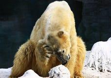 Orso polare serio immagine stock libera da diritti