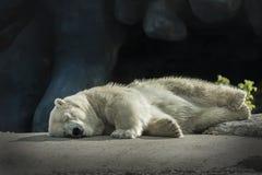 Orso polare sonnolento Fotografia Stock Libera da Diritti