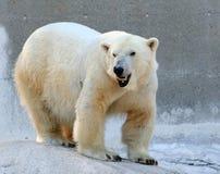 Orso polare sorridente Fotografie Stock Libere da Diritti