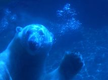 Orso polare sveglio Fotografia Stock