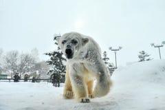 Orso polare (zoo di Asahiyama, Giappone) Fotografie Stock Libere da Diritti