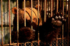 Orso prigioniero Immagine Stock