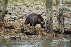 Orso selvaggio dell'orso grigio Fotografia Stock Libera da Diritti
