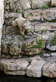 Orso siriano Fotografie Stock