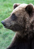 Orso sorridente dell'orso grigio Fotografie Stock