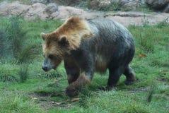 Orso in uno zoo Fotografia Stock