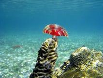 Orstedii di Anamobaea nel corallo fotografia stock libera da diritti