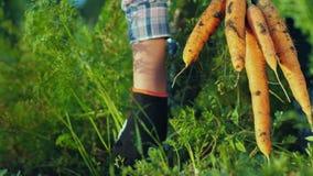 Ortaggi freschi dal giardino - i polli del primo piano tirano le carote dalla terra archivi video