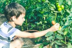 Ortaggi freschi felici di raccolto del bambino nel giardino al giorno di estate Famiglia, sano, facente il giardinaggio, concetto Fotografia Stock Libera da Diritti