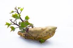 Ortaggi a radici, radici, sane, patate dolci, alimento principale umano immagini stock
