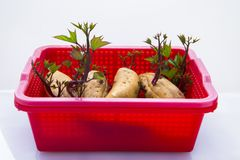 Ortaggi a radici, radici, sane, patate dolci, alimento principale umano fotografia stock