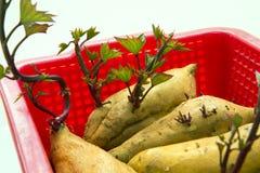 Ortaggi a radici, radici, sane, patate dolci, alimento principale umano fotografie stock libere da diritti
