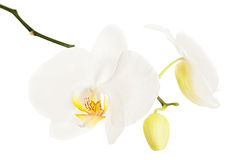 Ortchid branco isolado no fundo branco Imagens de Stock Royalty Free