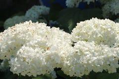 Ortensia bianca nel giardino Fotografia Stock