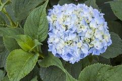 Ortensia blu di fioritura Fotografia Stock