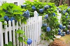 Ortensia blu lungo il recinto bianco Nel cottage di distanza Fotografia Stock