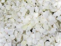 Ortensia dei fiori bianchi immagini stock