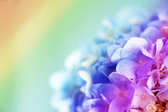 Ortensia del dolce dell'arcobaleno Fotografie Stock Libere da Diritti