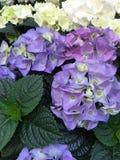 Ortensia del fiore Immagini Stock