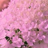 Ortensia del fiore su colore pastello morbido immagine stock