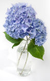 Ortensia in fioritura Fotografie Stock Libere da Diritti