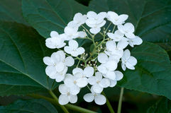 Ortensia in fioritura Immagini Stock Libere da Diritti