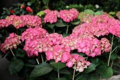Ortensia o macrophylla rosa dell'ortensia nel negozio greco del giardino Fotografie Stock Libere da Diritti