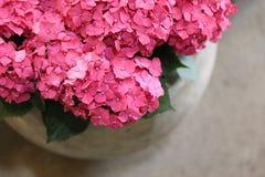 Ortensia o macrophylla rosa dell'ortensia in un grande vaso al negozio del giardino Immagine Stock