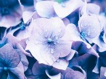 Ortensia porpora Macrophylla dell'ortensia di Bigleaf Fotografie Stock Libere da Diritti