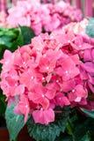 Ortensia rosa immagine stock