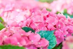 Ortensia rosa Fotografie Stock Libere da Diritti