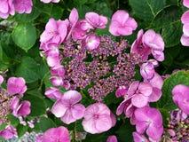 Ortensia rosa di fioritura Fotografia Stock