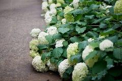 Ortensie bianche con le foglie verdi nel parco Fotografia Stock