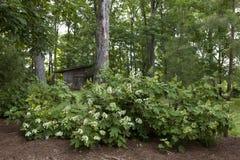 Ortensie della foglia della quercia Immagine Stock Libera da Diritti