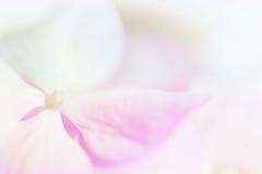 Ortensie pastelli di colore dolce nello stile morbido della sfuocatura e di colore per la b immagini stock