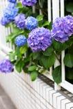 Ortensie viola e recinto bianco Fotografia Stock