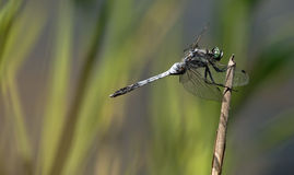 Orthetrum albistylum - White-Tailed Skimmer Stock Photography
