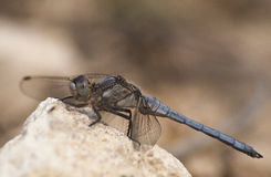 Orthetrum albistylum Stock Images