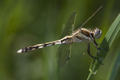 Orthetrum albystilum Royalty Free Stock Photo