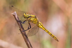 Orthetrum cancellatum Royalty Free Stock Images