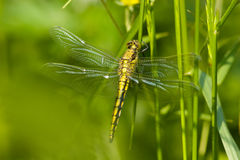 Orthetrum cancellatum, Black-tailed Skimmer Stock Photo
