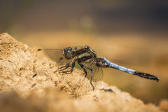 Orthetrum cancellatum dragonfly. Black tailed skimmer Orthetrum cancellatum male dragonfly resting on a pile of dirt Stock Photos