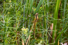 Orthetrum cancellatum female, yellow dragonfly, also known as black-tailed skimmer Royalty Free Stock Image