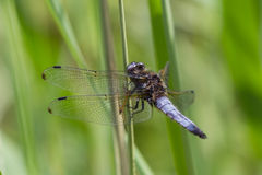 Orthetrum cancellatum Royalty Free Stock Photo