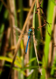 Orthetrum chrysostigma Royalty Free Stock Images