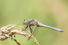 Orthetrum coerulescens Royalty Free Stock Photography