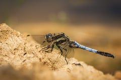 orthetrum dragonfly cancellatum Стоковые Фото