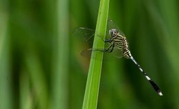 An orthetum sabina dragonfly on a weeds stock images